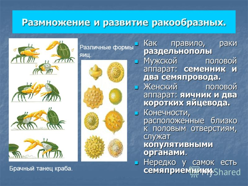 Размножение и развитие ракообразных. Как правило, раки раздельнополы Как правило, раки раздельнополы Мужской половой аппарат: семенник и два семяпровода. Мужской половой аппарат: семенник и два семяпровода. Женский половой аппарат: яичник и два корот