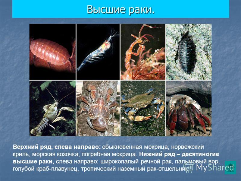 Высшие раки. Верхний ряд, слева направо: обыкновенная мокрица, норвежский криль, морская козочка, погребная мокрица. Нижний ряд – десятиногие высшие раки, слева направо: широкопалый речной рак, пальмовый вор, голубой краб-плавунец, тропический наземн