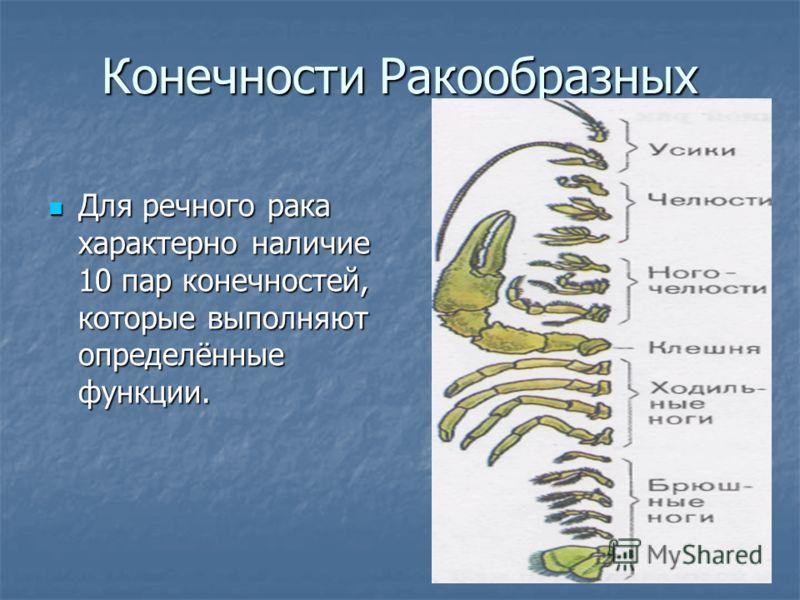Конечности Ракообразных Для речного рака характерно наличие 10 пар конечностей, которые выполняют определённые функции. Для речного рака характерно наличие 10 пар конечностей, которые выполняют определённые функции.