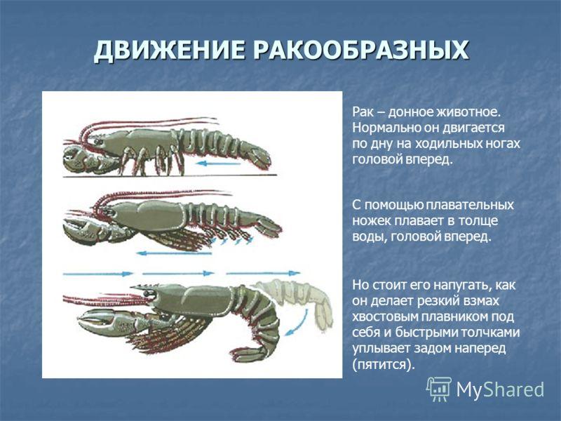 ДВИЖЕНИЕ РАКООБРАЗНЫХ Рак – донное животное. Нормально он двигается по дну на ходильных ногах головой вперед. С помощью плавательных ножек плавает в толще воды, головой вперед. Но стоит его напугать, как он делает резкий взмах хвостовым плавником под