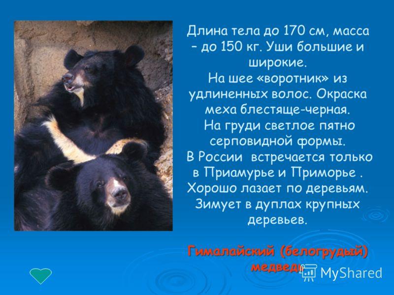Длина тела до 170 см, масса – до 150 кг. Уши большие и широкие. На шее «воротник» из удлиненных волос. Окраска меха блестяще-черная. На груди светлое пятно серповидной формы. В России встречается только в Приамурье и Приморье. Хорошо лазает по деревь