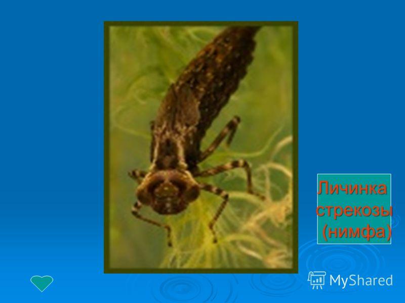 Личинкастрекозы (нимфа) (нимфа)
