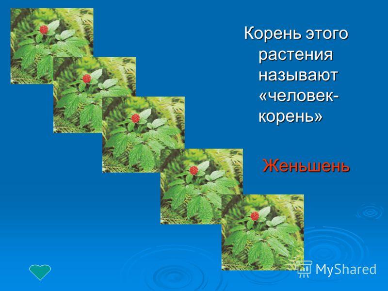Корень этого растения называют «человек- корень» Женьшень Женьшень