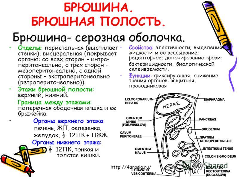 БРЮШИНА. БРЮШНАЯ ПОЛОСТЬ. Брюшина- серозная оболочка. Отделы: париетальная (выстилает стенки), висцеральная (покрывает органы: со всех сторон – интра- перитонеально, с трех сторон – мезоперитонеально, с одной стороны – экстраперитонеально (ретроперит