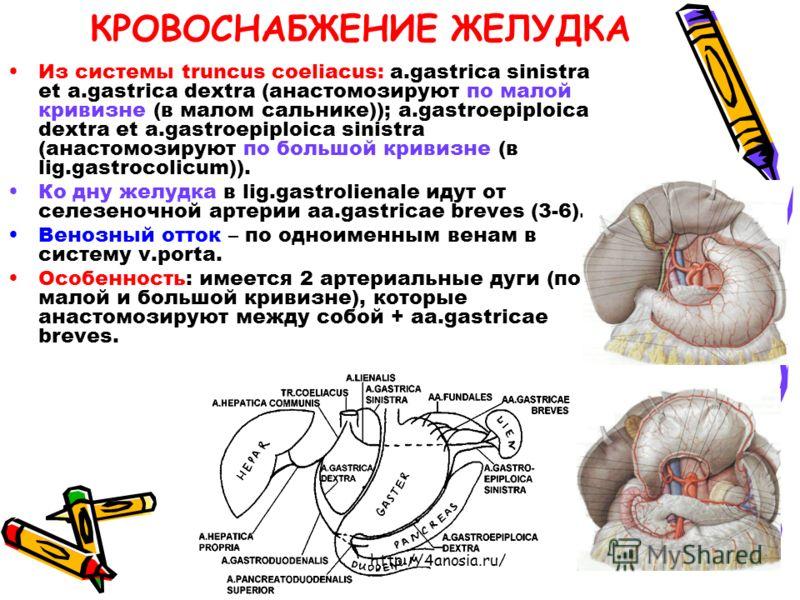 КРОВОСНАБЖЕНИЕ ЖЕЛУДКА Из системы truncus coeliacus: a.gastrica sinistra et a.gastrica dextra (анастомозируют по малой кривизне (в малом сальнике)); a.gastroepiploica dextra et a.gastroepiploica sinistra (анастомозируют по большой кривизне (в lig.gas