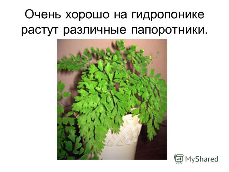 Очень хорошо на гидропонике растут различные папоротники.