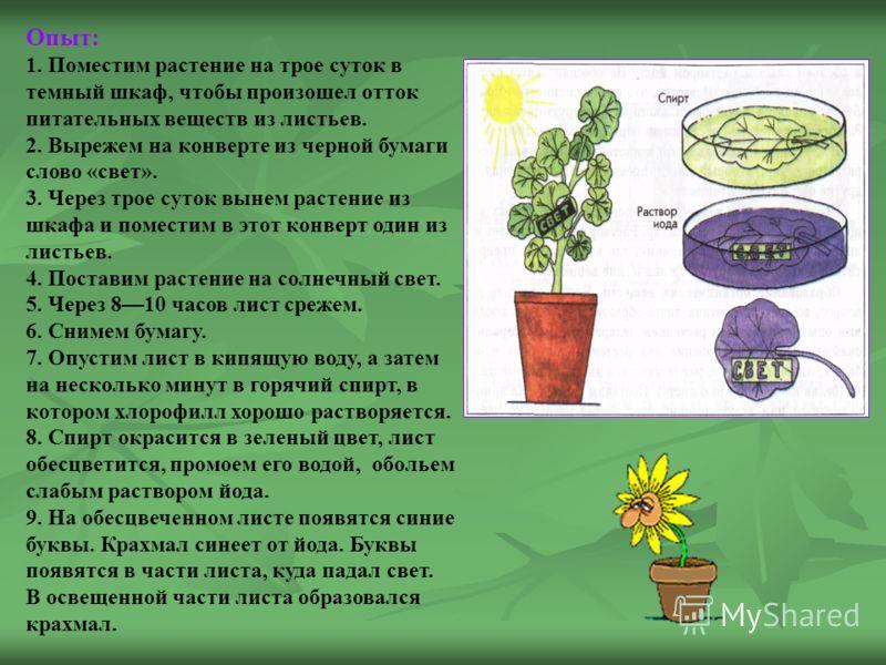 Опыт: 1. Поместим растение на трое суток в темный шкаф, чтобы произошел отток питательных веществ из листьев. 2. Вырежем на конверте из черной бумаги слово «свет». 3. Через трое суток вынем растение из шкафа и поместим в этот конверт один из листьев.