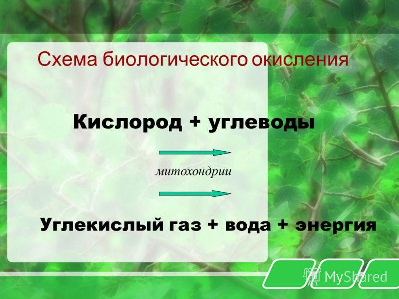 Схема биологического окисления Кислород + углеводы митохондрии Углекислый газ + вода + энергия