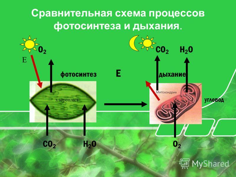 Сравнительная схема процессов фотосинтеза и дыхания. O 2 CO 2 H 2 O фотосинтез Е дыхание углевод CO 2 H 2 O O 2 Е хлоропласт