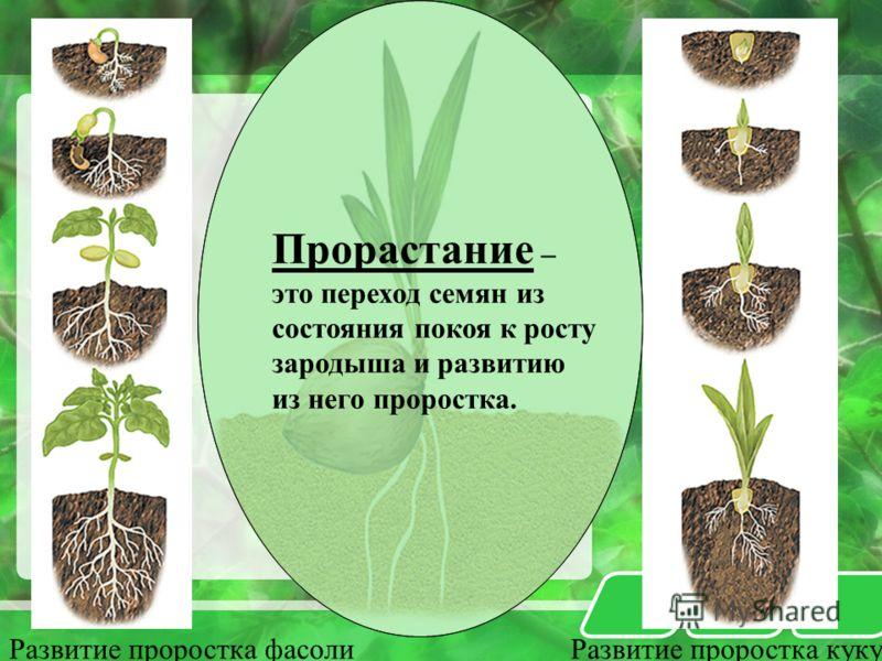Развитие проростка фасолиРазвитие проростка кукурузы Прорастание – это переход семян из состояния покоя к росту зародыша и развитию из него проростка.