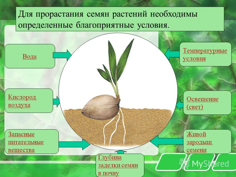 Для прорастания семян растений необходимы определенные благоприятные условия. Вода Запасные питательные вещества Температурные условия Освещение (свет) Живой зародыш семени Кислород воздуха Глубина заделки семян в почву