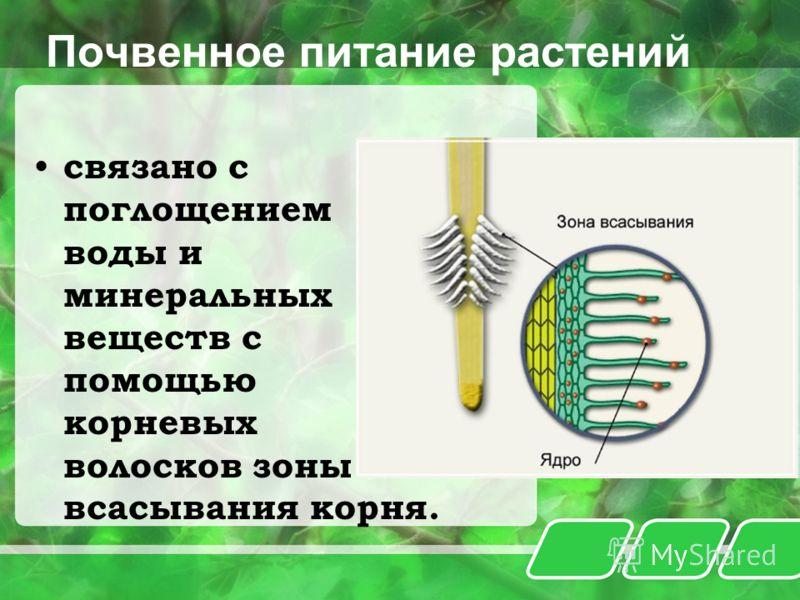 Почвенное питание растений связано с поглощением воды и минеральных веществ с помощью корневых волосков зоны всасывания корня.