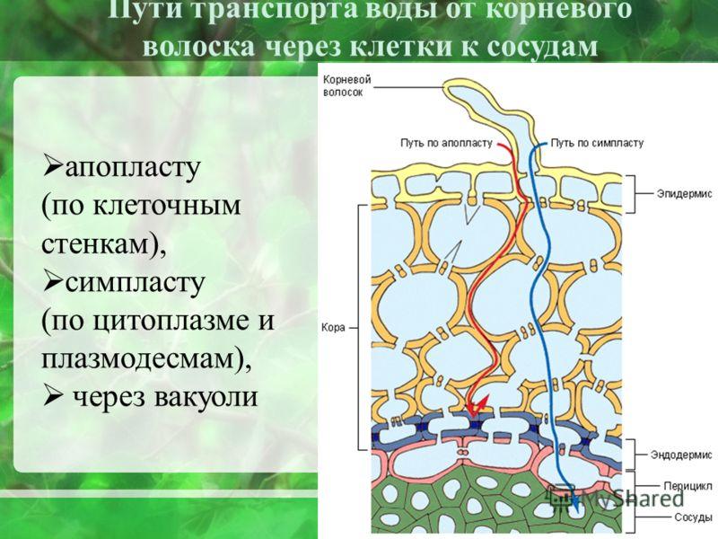 апопласту (по клеточным стенкам), симпласту (по цитоплазме и плазмодесмам), через вакуоли Пути транспорта воды от корневого волоска через клетки к сосудам