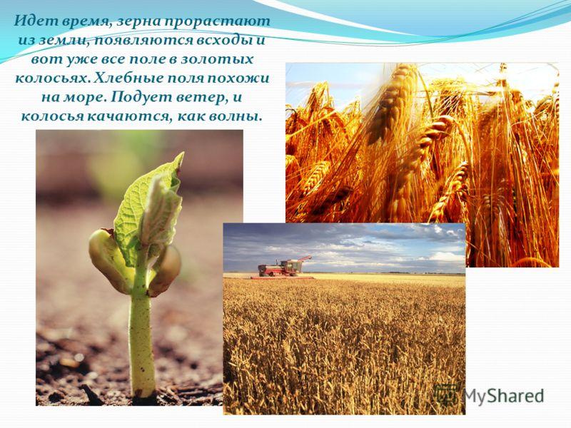 Идет время, зерна прорастают из земли, появляются всходы и вот уже все поле в золотых колосьях. Хлебные поля похожи на море. Подует ветер, и колосья качаются, как волны.