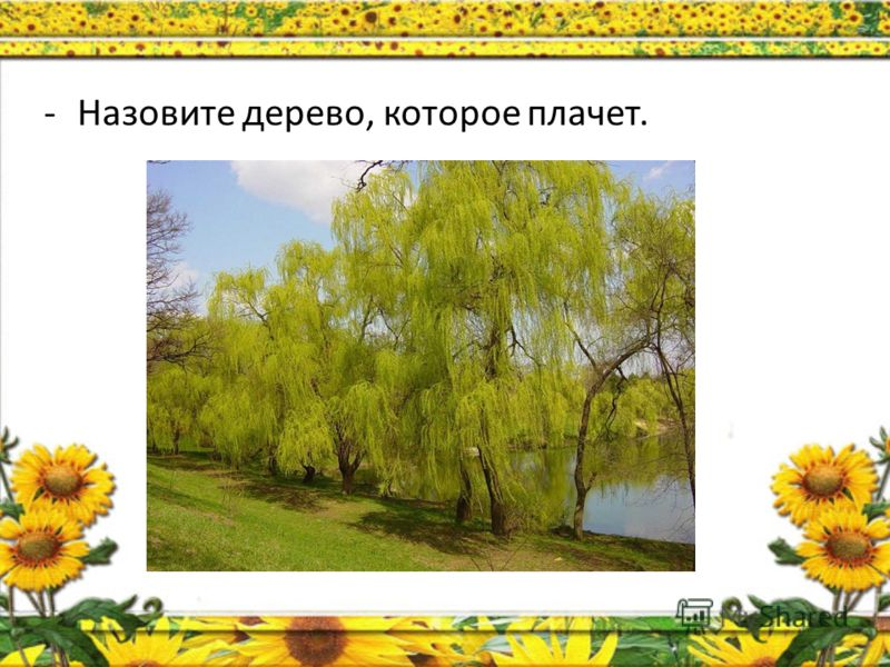 -Назовите дерево, которое первым желтеет.