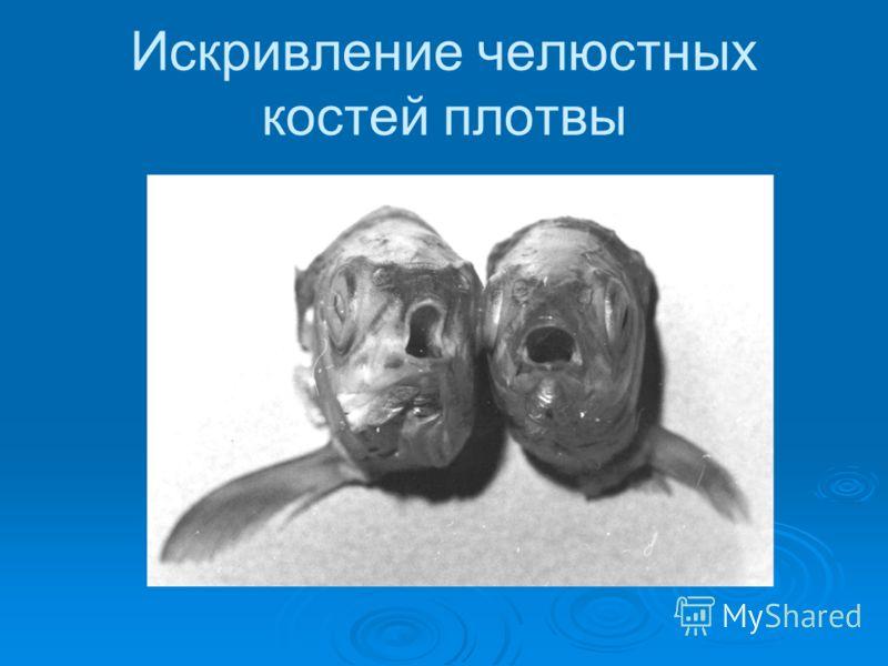 Искривление челюстных костей плотвы