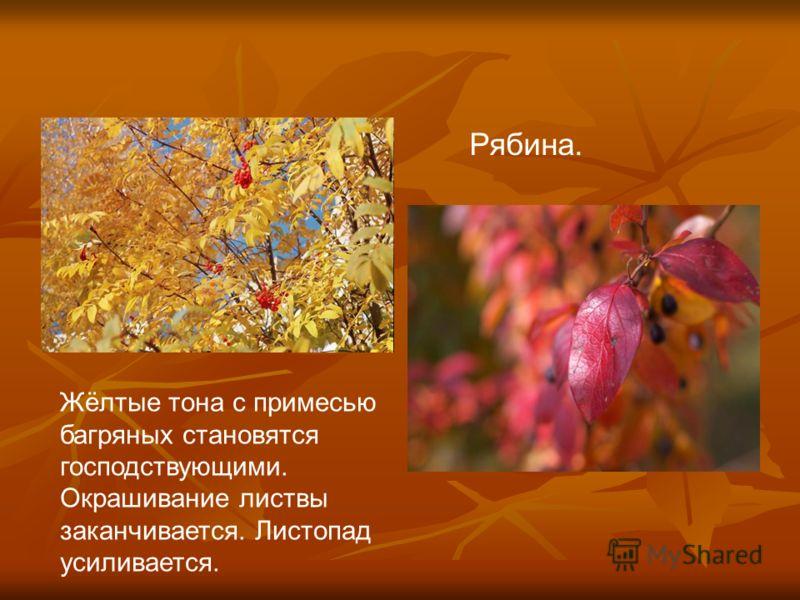 Жёлтые тона с примесью багряных становятся господствующими. Окрашивание листвы заканчивается. Листопад усиливается. Рябина.