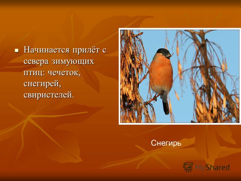 Начинается прилёт с севера зимующих птиц: чечеток, снегирей, свиристелей. Начинается прилёт с севера зимующих птиц: чечеток, снегирей, свиристелей. Снегирь