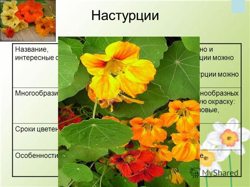 Настурции Название, интересные факты Настурция- это не только красивое, но и съедобное растение. Цветки настурции можно добавлять в салаты, украшать ими разнообразные блюда. Плоды настурции можно мариновать. МногообразиеНарядные бархатистые цветки у