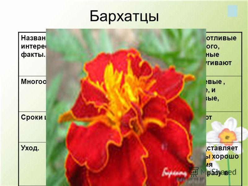 Бархатцы Название, интересные факты. Бархатцы- трудолюбивые, неприхотливые и быстрорастущие цветы. Кроме того, бесхлопотные бархатцы, посаженные рядом с другими растениями, отпугивают вредителей. Многообразие.Бархатцы бывают желтые, оранжевые, красно