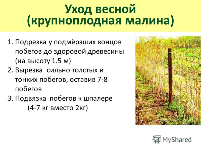 Уход весной (крупноплодная малина) 1.Подрезка у подмёрзших концов побегов до здоровой древесины (на высоту 1.5 м) 2.Вырезка сильно толстых и тонких побегов, оставив 7-8 побегов 3.Подвязка побегов к шпалере (4-7 кг вместо 2кг)