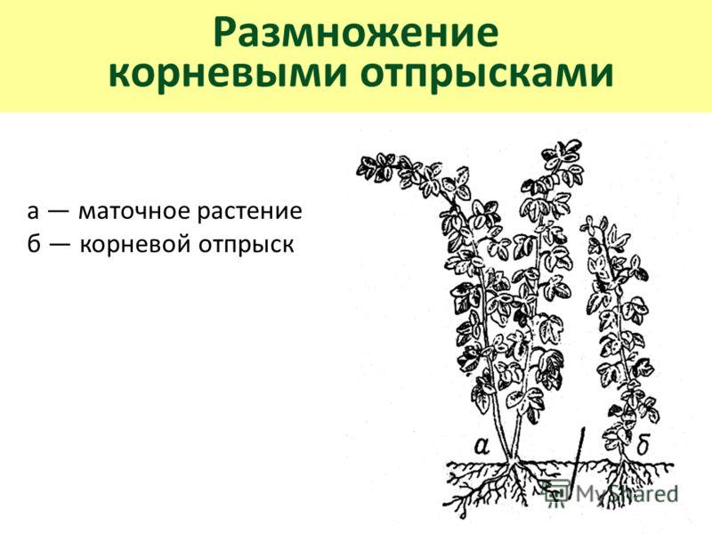 Размножение корневыми отпрысками а маточное растение б корневой отпрыск