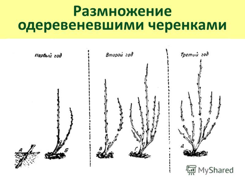 Размножение одеревеневшими черенками