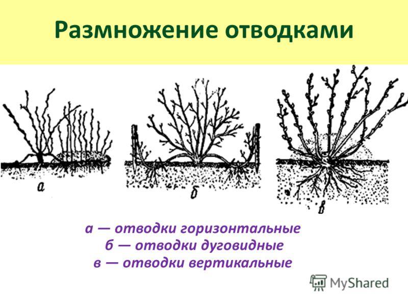 Размножение отводками а отводки горизонтальные б отводки дуговидные в отводки вертикальные