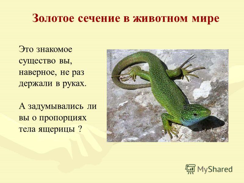 Золотое сечение в животном мире Это знакомое существо вы, наверное, не раз держали в руках. А задумывались ли вы о пропорциях тела ящерицы ?
