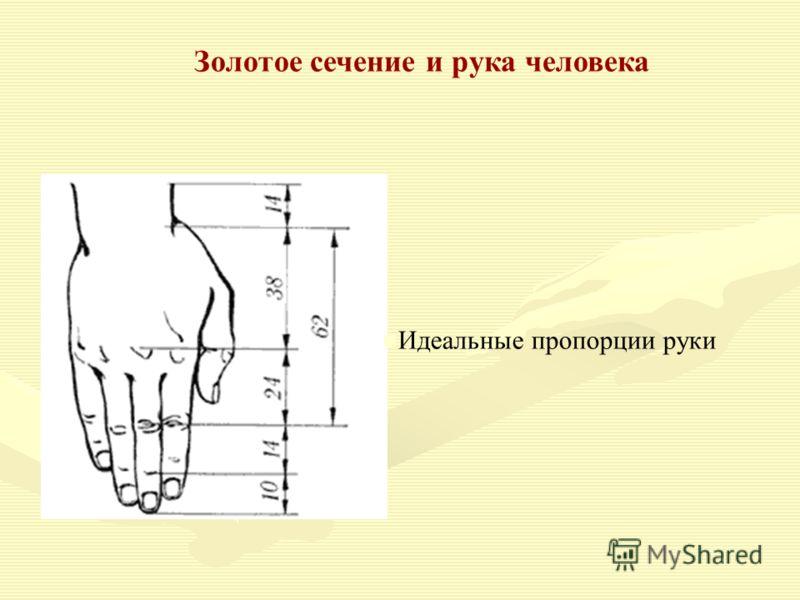 Золотое сечение и рука человека Идеальные пропорции руки
