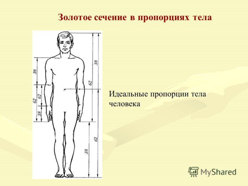 Золотое сечение в пропорциях тела Идеальные пропорции тела человека