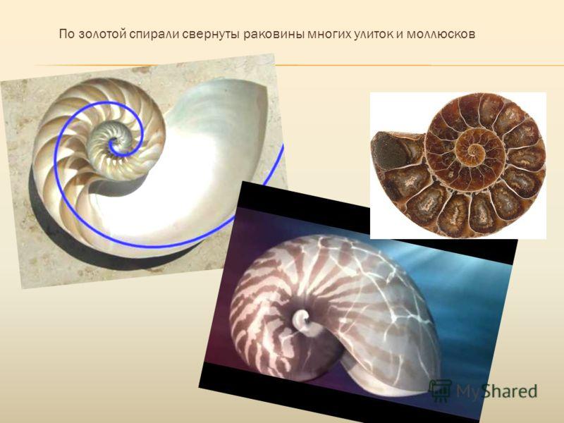 По золотой спирали свернуты раковины многих улиток и моллюсков