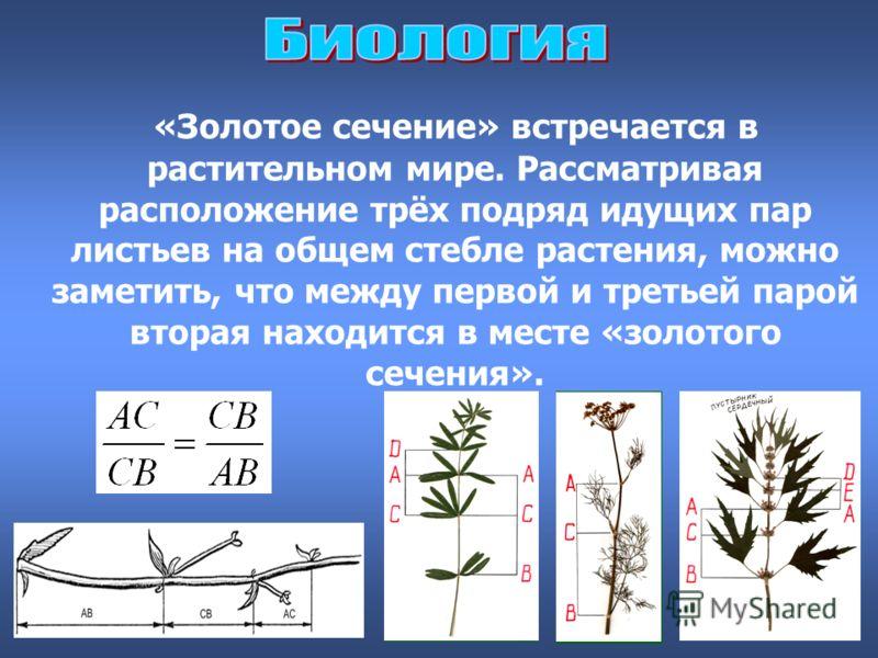 «Золотое сечение» встречается в растительном мире. Рассматривая расположение трёх подряд идущих пар листьев на общем стебле растения, можно заметить, что между первой и третьей парой вторая находится в месте «золотого сечения».