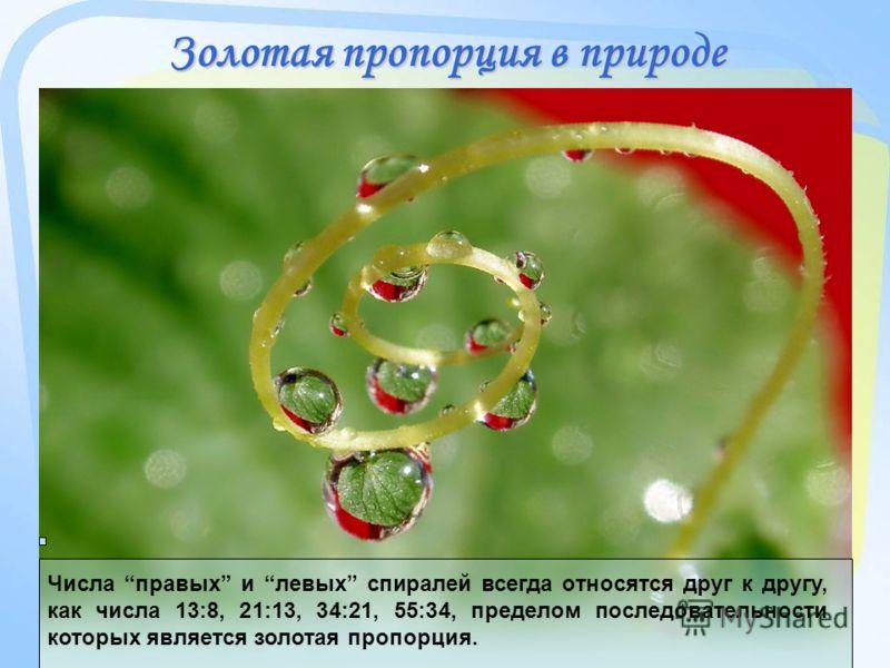 Золотая пропорция в природе Числа правых и левых спиралей всегда относятся друг к другу, как числа 13:8, 21:13, 34:21, 55:34, пределом последовательности которых является золотая пропорция.