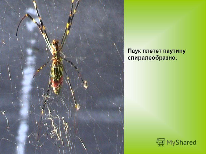 Паук плетет паутину спиралеобразно.