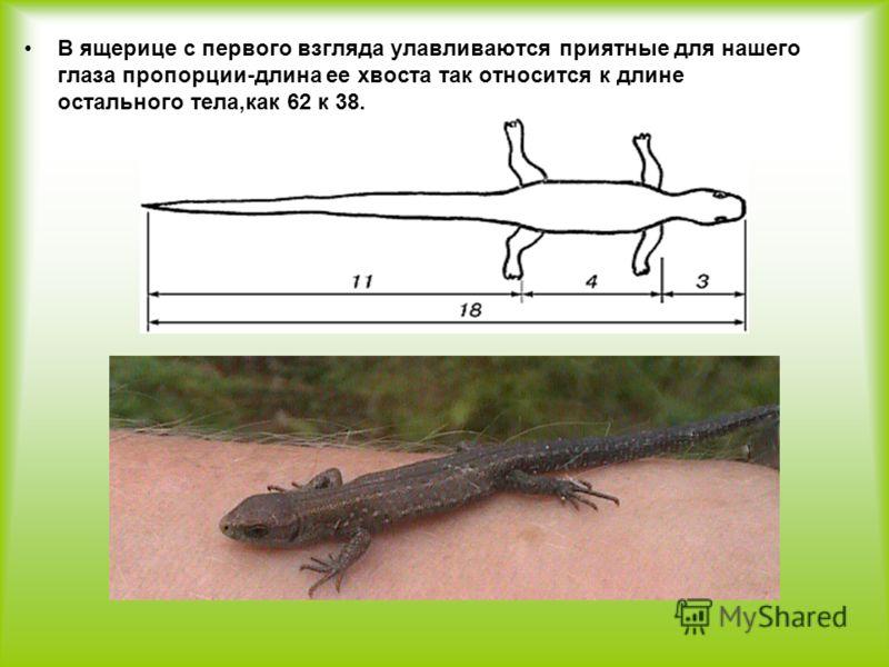 В ящерице с первого взгляда улавливаются приятные для нашего глаза пропорции-длина ее хвоста так относится к длине остального тела,как 62 к 38.