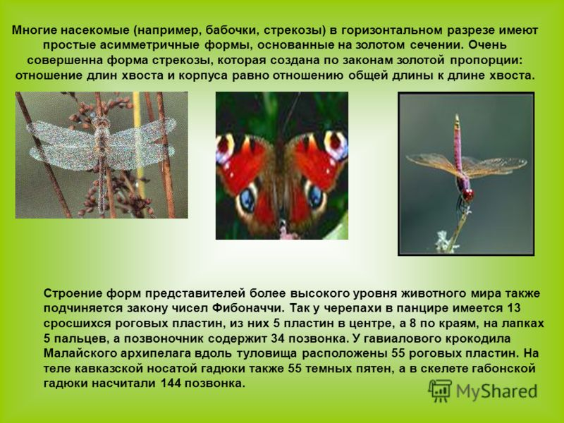Многие насекомые (например, бабочки, стрекозы) в горизонтальном разрезе имеют простые асимметричные формы, основанные на золотом сечении. Очень совершенна форма стрекозы, которая создана по законам золотой пропорции: отношение длин хвоста и корпуса р