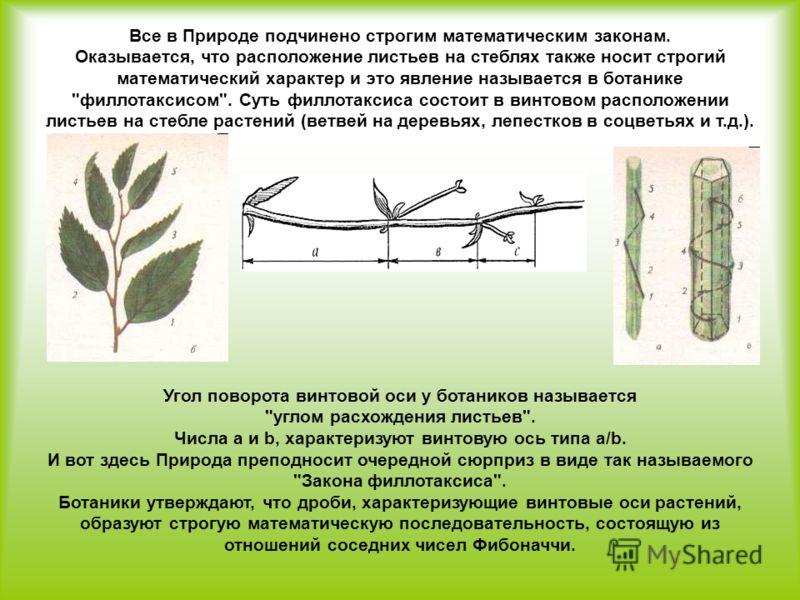 Все в Природе подчинено строгим математическим законам. Оказывается, что расположение листьев на стеблях также носит строгий математический характер и это явление называется в ботанике