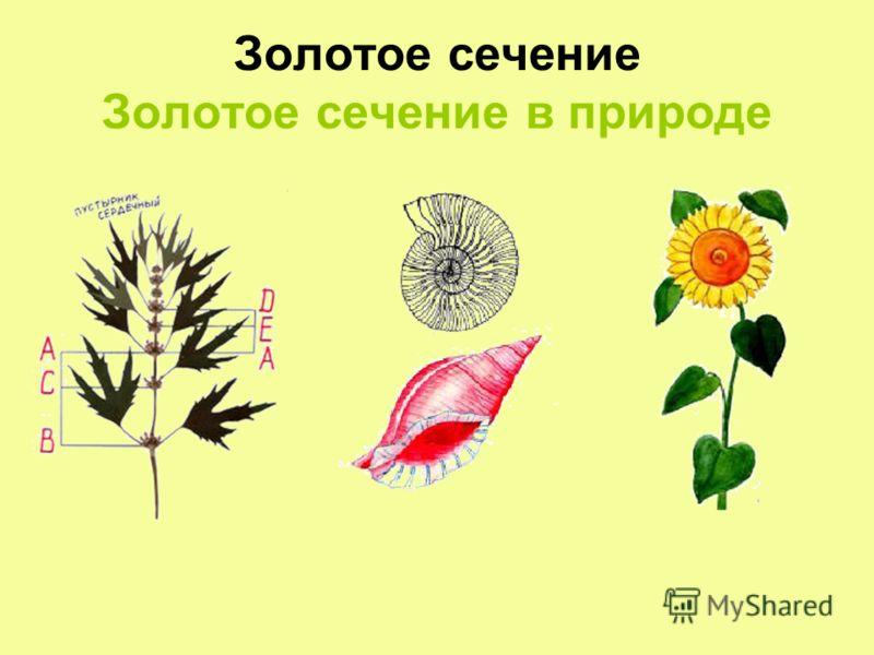 Золотое сечение Золотое сечение в природе