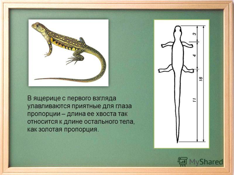 В ящерице с первого взгляда улавливаются приятные для глаза пропорции – длина ее хвоста так относится к длине остального тела, как золотая пропорция.