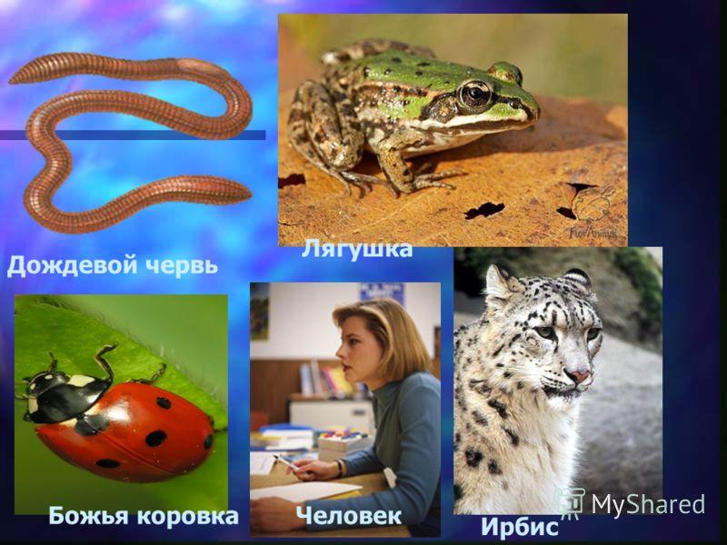 Дождевой червь Лягушка Божья коровка Ирбис Человек