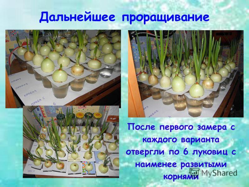 Дальнейшее проращивание После первого замера с каждого варианта отвергли по 6 луковиц с наименее развитыми корнями