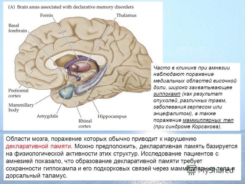 Области мозга, поражение которых обычно приводит к нарушению декларативной памяти. Можно предположить, декларативная память базируется на физиологической активности этих структур. Исследование пациентов с амнезией показало, что образование декларатив