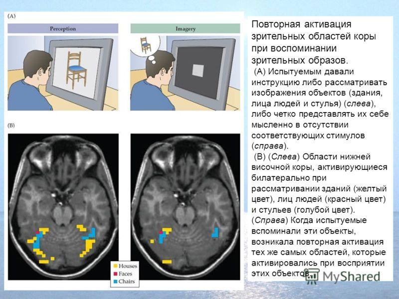 Повторная активация зрительных областей коры при воспоминании зрительных образов. (A) Испытуемым давали инструкцию либо рассматривать изображения объектов (здания, лица людей и стулья) (слева), либо четко представлять их себе мысленно в отсутствии со