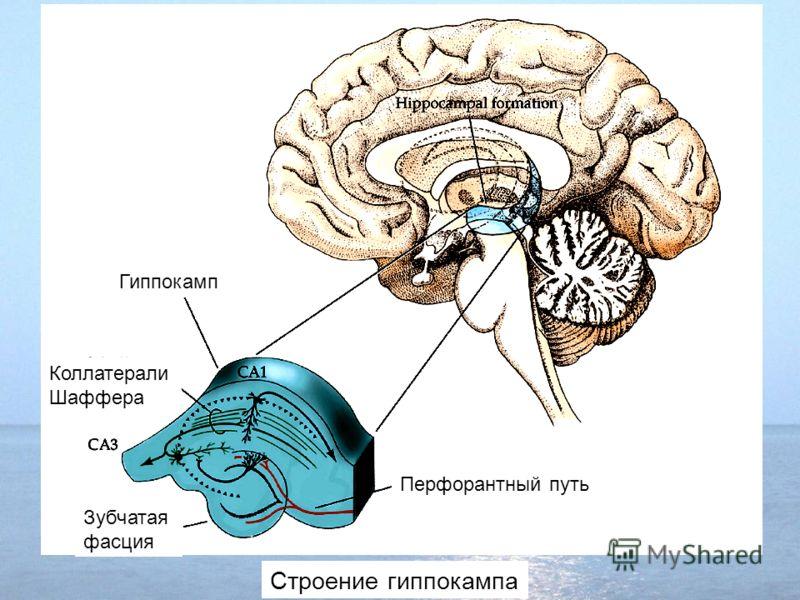 Строение гиппокампа Гиппокамп Коллатерали Шаффера Зубчатая фасция Перфорантный путь