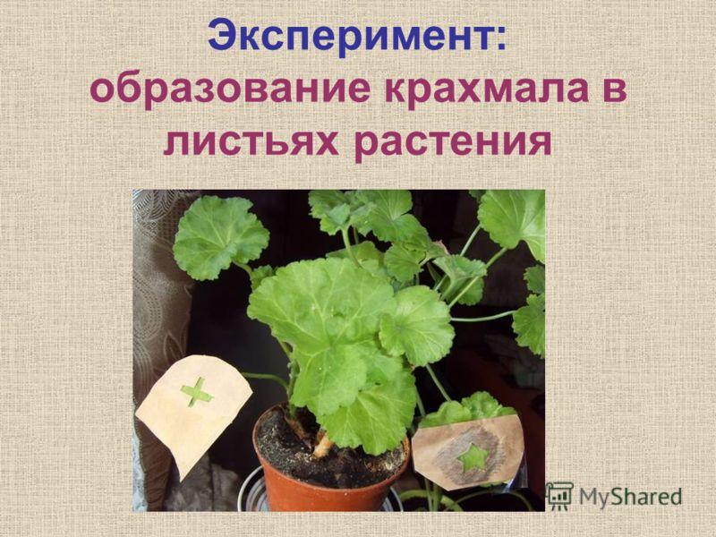 Эксперимент: образование крахмала в листьях растения