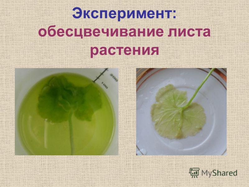 Эксперимент: обесцвечивание листа растения