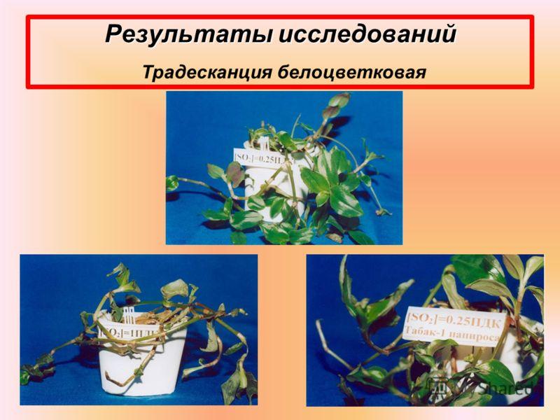 Результаты исследований Результаты исследований Традесканция белоцветковая