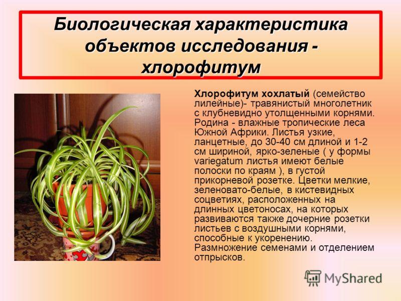Биологическая характеристика объектов исследования - хлорофитум Хлорофитум хохлатый (семейство лилейные)- травянистый многолетник с клубневидно утолщенными корнями. Родина - влажные тропические леса Южной Африки. Листья узкие, ланцетные, до 30-40 см