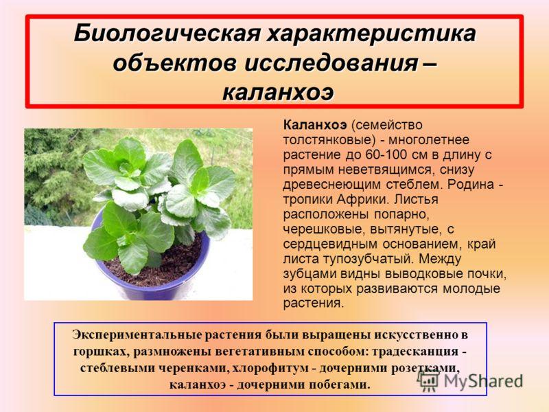 Биологическая характеристика объектов исследования – каланхоэ Каланхоэ (семейство толстянковые) - многолетнее растение до 60-100 см в длину с прямым неветвящимся, снизу древеснеющим стеблем. Родина - тропики Африки. Листья расположены попарно, черешк
